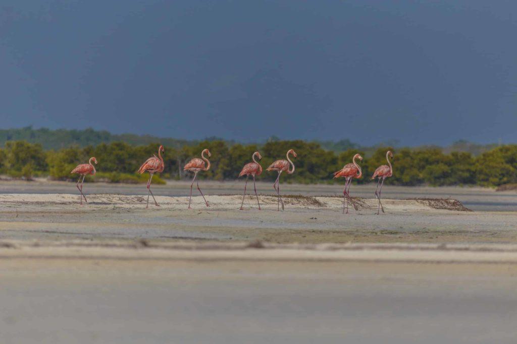 rio lagartos pink flamingos