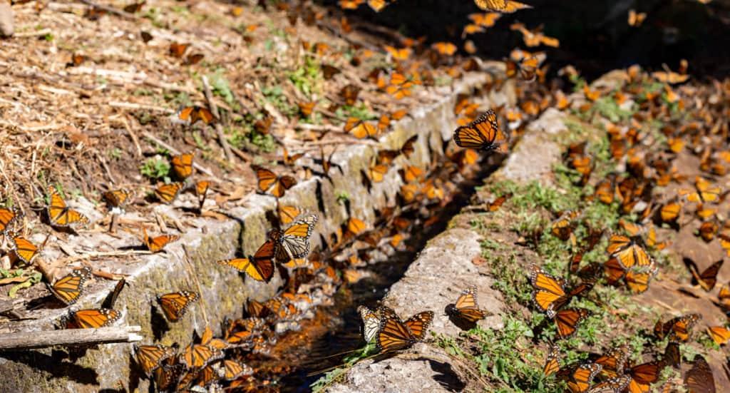 butterflies horizontal
