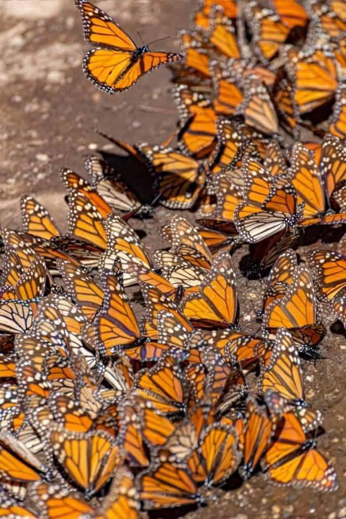 mariposa monarca sanctuary 1