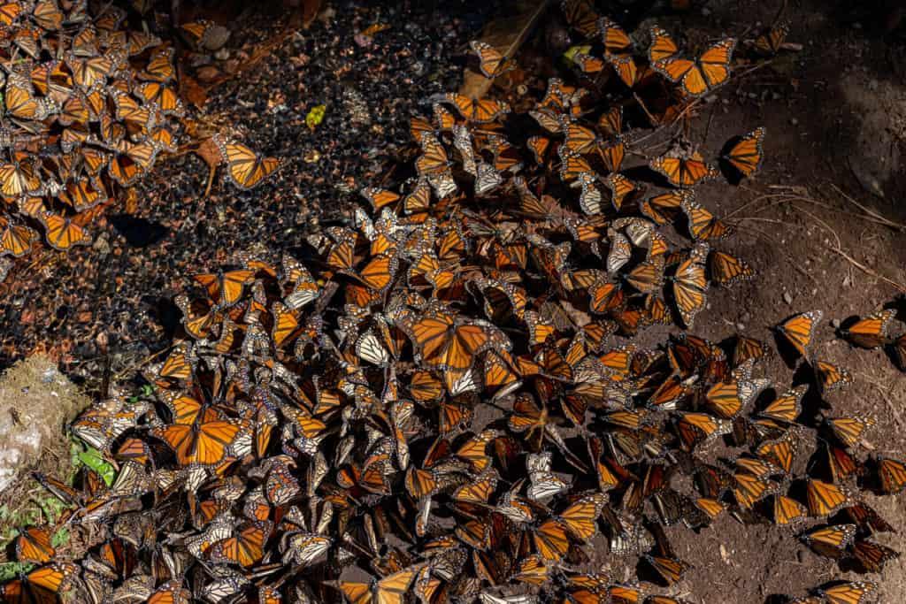 mariposas monarcas 100