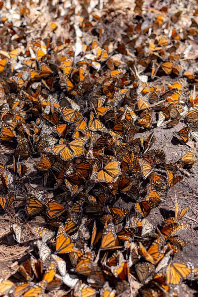 vertical mariposa monarca