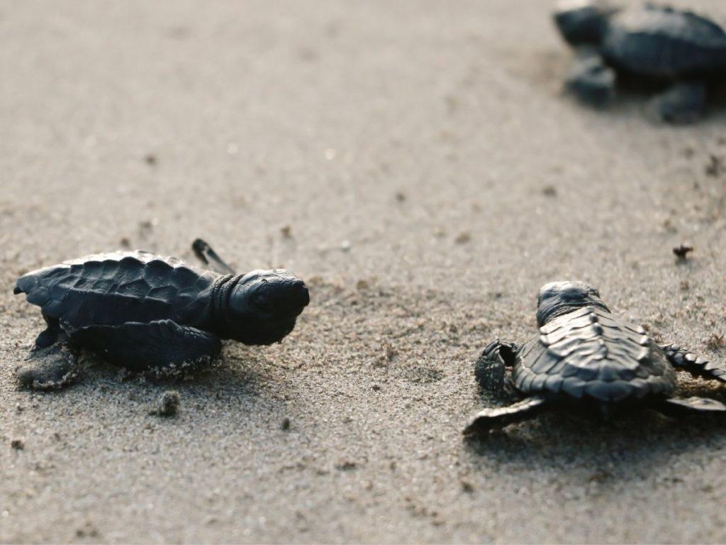 Sea turtle walking on the beach